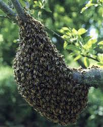essaim abeilles brignoles